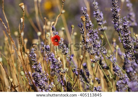 a poppy flower in a feelds of blooming lavander Vaucluse, Provence, France - stock photo
