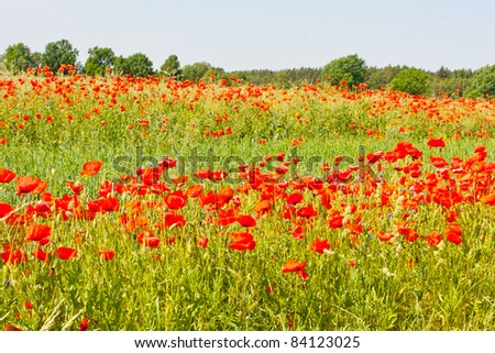 A poppy is any of a number of colorful flowers, typically with one per stem, belonging to the poppy family.