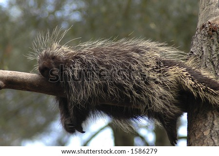 A porcupine fast asleep on a tree branch.
