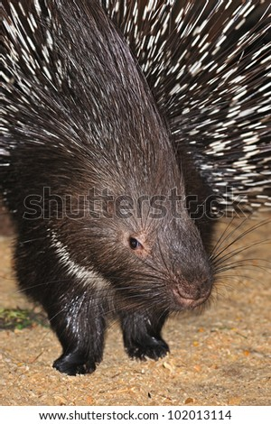 A porcupine is in a natural habitat