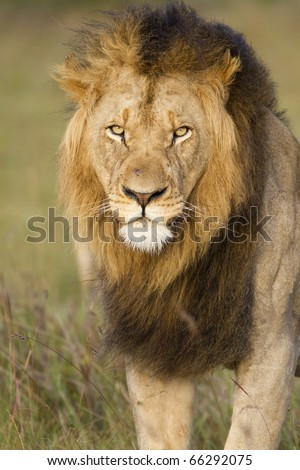 A portrait closeup of a large African black maned lion.