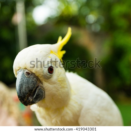 A portrait head shot of a the sulfur-crested cockatoo cockatoo (Cacatua galerita) is a relatively large white cockatoo found in wooded habitats in Australia, New Guinea & some islands of Indonesia - stock photo