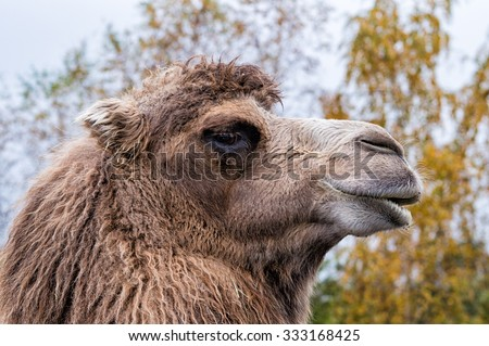 A portrait of a Arabian camel or Dromedary