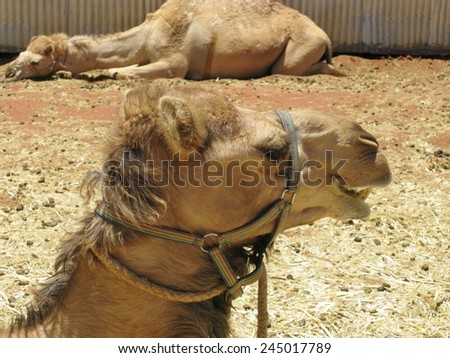 A portrait of a Arabian camel or Dromedary with a facial expression in Australia - stock photo