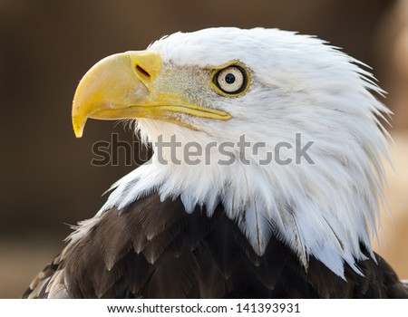 A portrait of a Bald Eagle