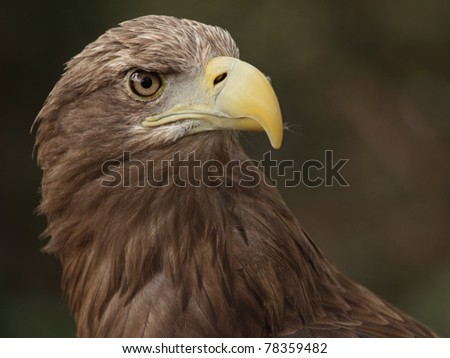 a portrait of a beautiful eagle