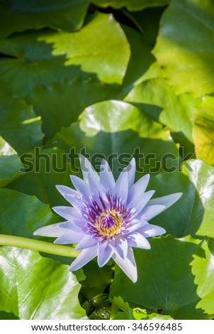 A portrait of a beautiful purple lotus flower surrounded by green leaves - stock photo