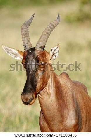 A portrait of a beautiful Topi antelope - stock photo