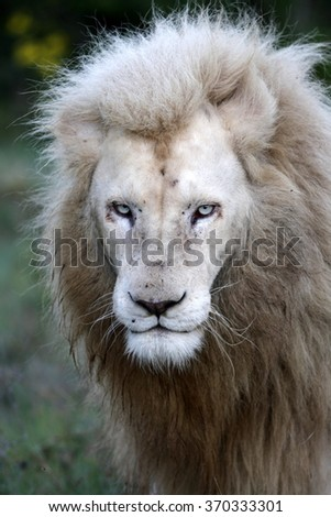 A portrait of a big pure white male lion in this photo taken on safari in Africa. - stock photo
