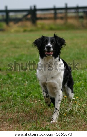 A portrait of a black and white dog in a garden waiting for the ball to be thrown