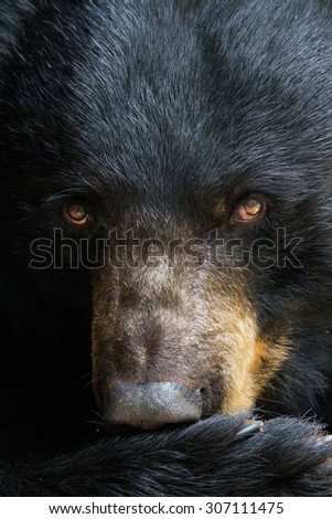 A portrait of a black bear.