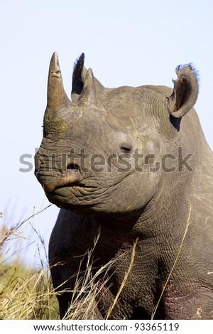 A portrait of a Black Rhino - stock photo