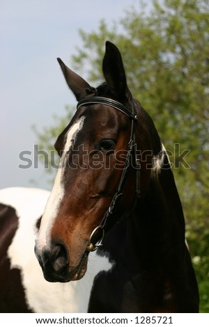 A portrait of a braided sport horse - stock photo