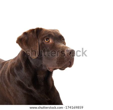 A portrait of a brown labrador against a white background