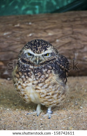 A Portrait of a Burrowing Owl in Captivity - stock photo