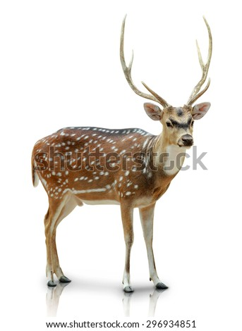 A portrait of a Chital, Spotted deer isolated in white background - stock photo