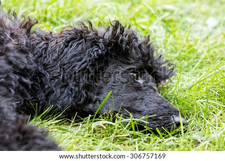 A portrait of a cute black poodle puppy with expressive eyes on a green grassy lawn. - stock photo