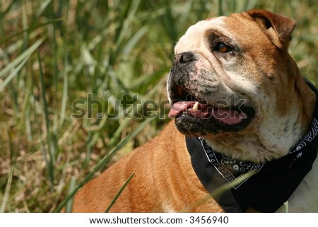 A portrait of a cute bulldog in a grassy environment. - stock photo
