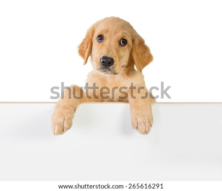 A portrait of a cute Golden retriever dog holding on a white plank board - stock photo