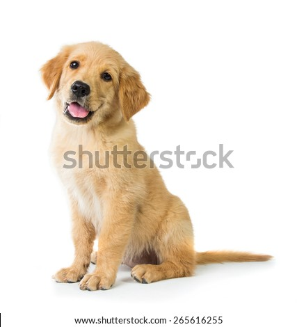 A portrait of a cute Golden Retriever dog sitting on the floor, isolated on white background - stock photo