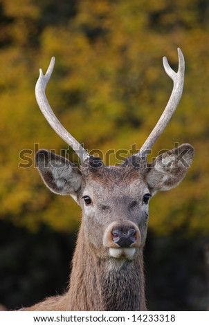 A portrait of a deer
