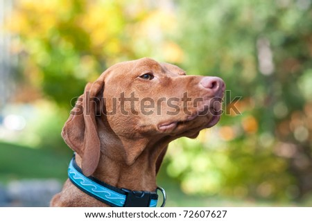 A portrait of a female Vizsla dog with autumn leaves in the background. - stock photo