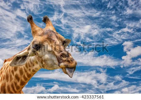 A Portrait Of A Giraffe Show Tongue and blue sky background - stock photo