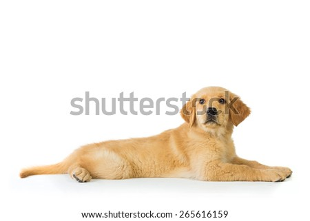 A portrait of a golden retriever dog laying over white background