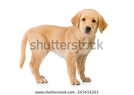 A portrait of a Golden retriever dog standing isolated in white background - stock photo