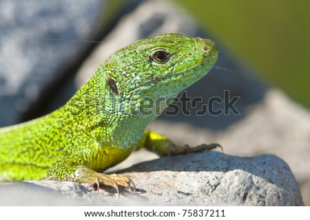 a portrait of a green lizard male resting on the rock / Lacerta viridis