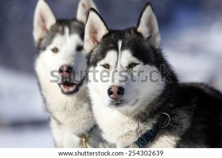 a portrait of a grey siberian husky - stock photo