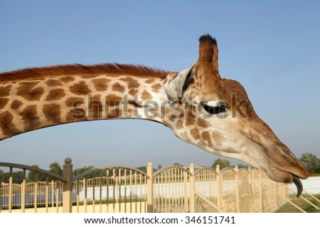 A portrait of a huge giraffe neck and funny face with tongue in zoo - stock photo