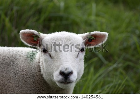 A portrait of a lambs