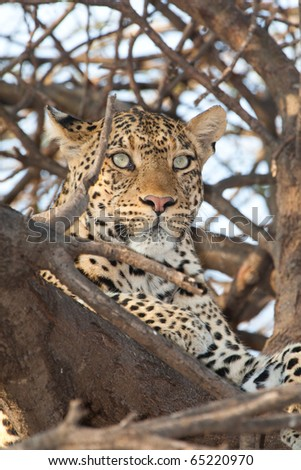 A portrait of a leopard in a tree - stock photo