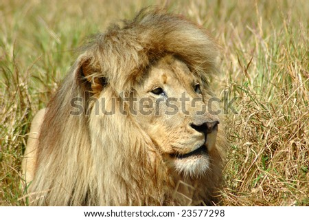 A portrait of a lion male with a big mane watching other lions in a game park in South Africa - stock photo