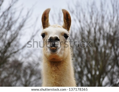A portrait of a llama - stock photo