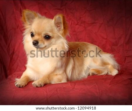 A portrait of a Long Haired Chihuahua - stock photo