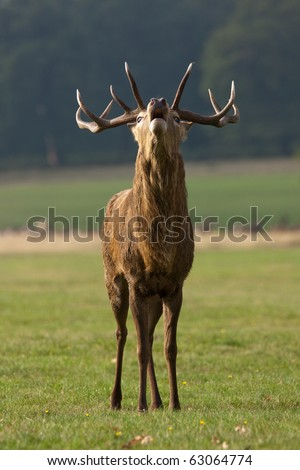 A portrait of a male stag (buck) red deer roaring as part of the autumn rutting season, trying to attract a female doe (hind) deer - stock photo