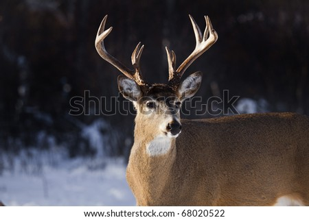 a portrait of a male whitetail deer buck - stock photo