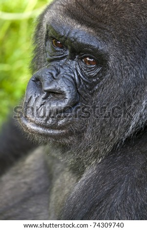 A portrait of a nice looking gorilla