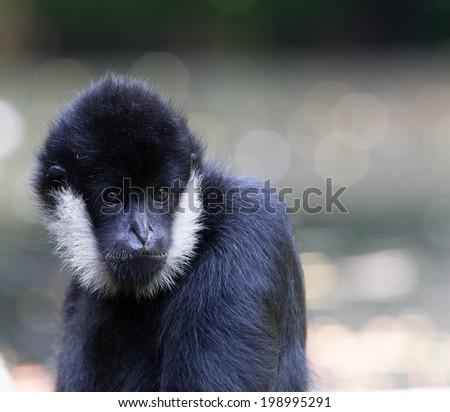 A portrait of a Northern white-cheeked gibbon (Nomascus leucogenys) - stock photo