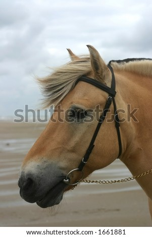 A portrait of a norwegian fjord horse at the sea.