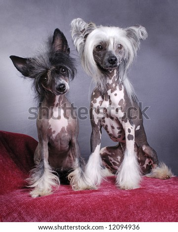 A portrait of a pair of Chinese Crested Dogs - stock photo