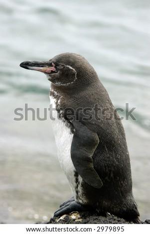 A portrait of a sleeping Galapagos penguin. Galapagos islands, Ecuador. Vertical orientation. - stock photo