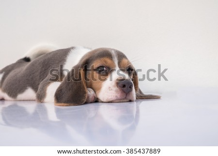 A Portrait of a Sleepy Adorable Blue Puppy Beagle with the white background (Selective Focus Point) - stock photo