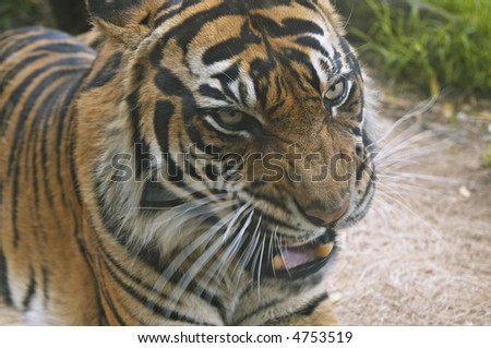 A portrait of a snarling tiger. Motion blur on vibrissae and lower jaw. - stock photo