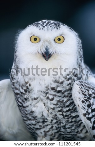 A portrait of a snowy owl - stock photo
