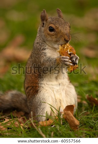 A portrait of a squirrel sitting on its hind legs, nibbling on an apple core - stock photo