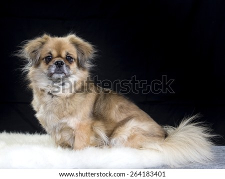 A portrait of a Tibetan Spaniel - stock photo