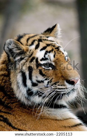 A portrait of a tiger in a zoo.
